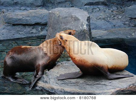 Stellar Sea Lion