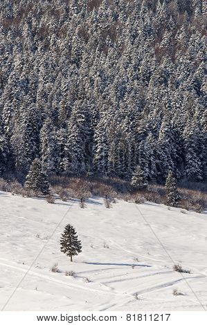 Single Fir With Firs In Background