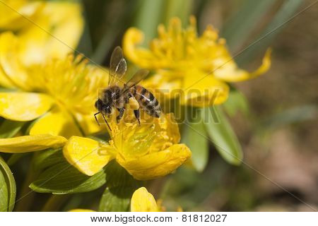 honeybee in winter aconite