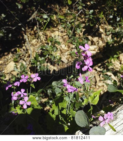 Flower Of Lunaria