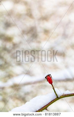 Winter Rosehip Still Life