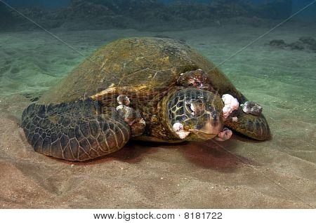 Sick Green Sea Turtle