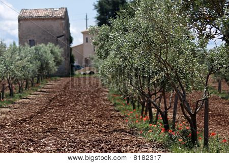 Olive Trees In Provence