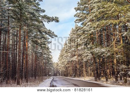 Pines Along The Country Road
