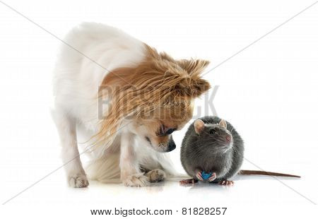 Gray Rat And Chihuahua