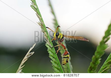 potter wasp on the grass shoot