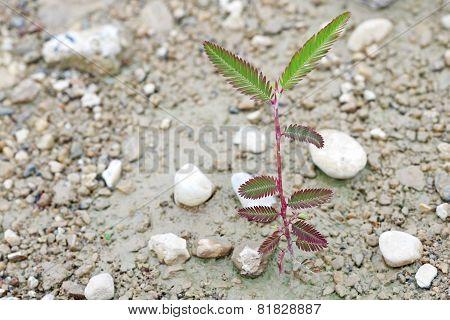 mimosa seedling