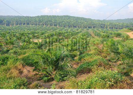 Palm oil trees in palm oil estate plantation