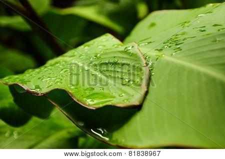 Green Leaf Macro, Rain Droplets.