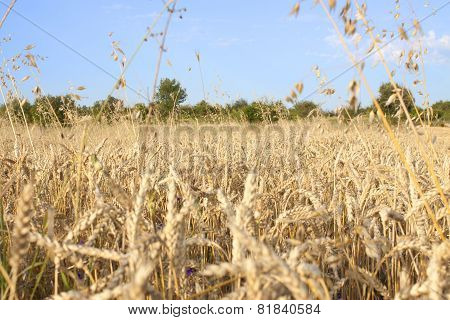 Agriculture Cornfield With Blue  Sky In Summer