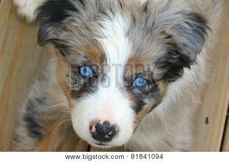 Border Aussie Puppy