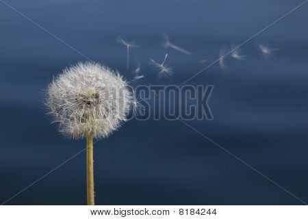 Dandelion In Front Of Water