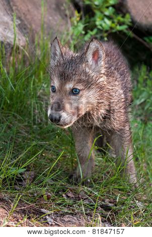 Grey Wolf (canis Lupus) Pup Walks Forward