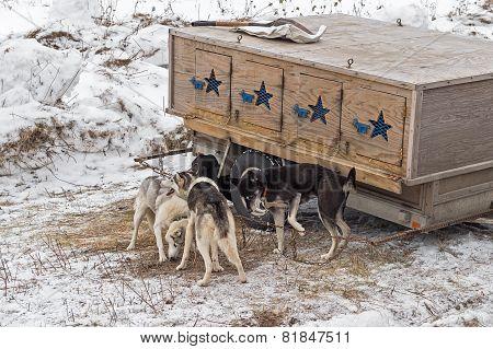 Dog Sled Dogs Gather Around Dog Box