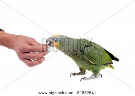 Orange-winged amazon on white background