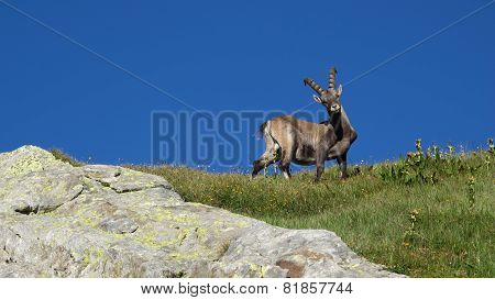 Curious Alpine Ibex