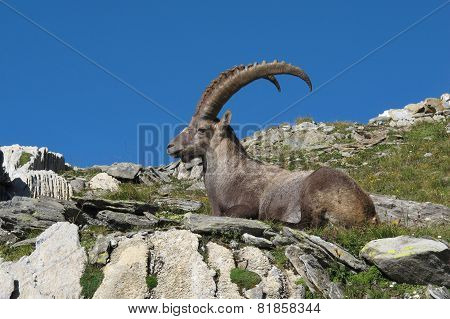 Resting Male Alpine Ibex