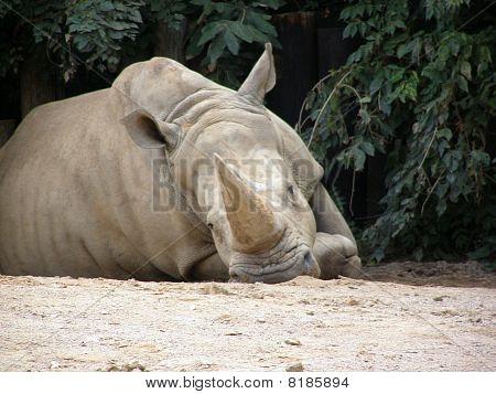 Sad Rhino
