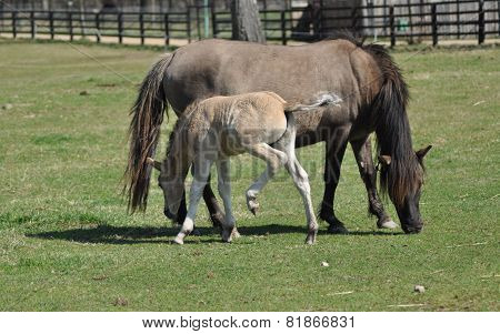 Horses On Pasture. Mare With Foal. Adolescence