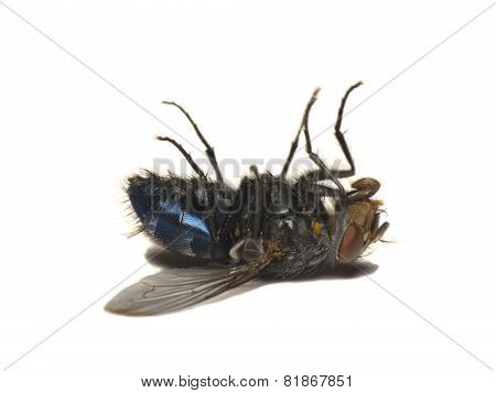 Dead Fly Isolated On White(Caliphora Vomitoria)