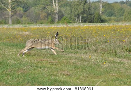 Hare Running Across The Fields And Meadows. Escape From The Hunter. Mammal With Long Ears