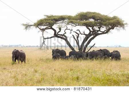 Herd Of Elephants Under A Wattle With Male Guarding