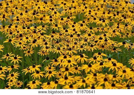 Echinacea, Yellow Orange Flower