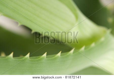 Aloe Leaf Edge
