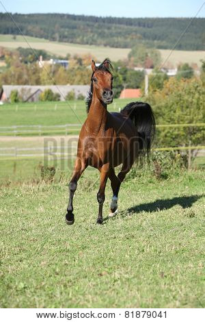 Nice Brown Arabian Mare Running