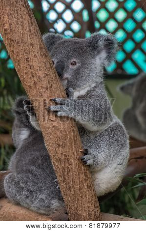 Baby Koala Sitting In A Tree
