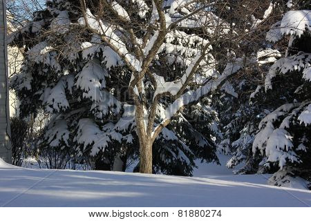 Fresh White Snow on Pine or Spruce Trees with bright blue sky