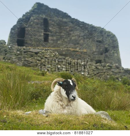 Sheep And Scottish Antique Stone Construction, Broch. Carloway. Scotland