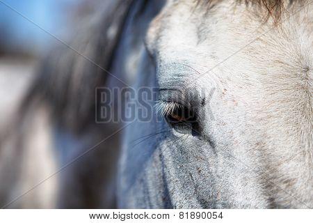 Horse Eye Detail