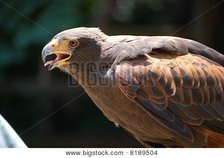 Hawk Searching prey