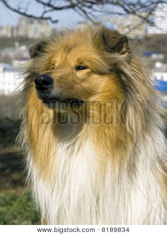Dog  breed collie Red-head colour