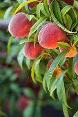picture of peach  - Sweet peach fruits growing on a peach tree in the garden - JPG