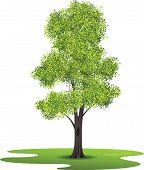 stock photo of ash-tree  - Isolated Ash tree created in vector illustration - JPG