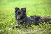 stock photo of newfoundland puppy  - Vagrant black dog lying down on a green lawn - JPG