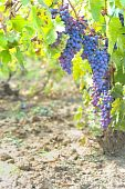 picture of grape-vine  - blue grapes in the vineyard in autumn time - JPG