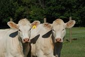 image of charolais  - Charolais cattle are a beef breed which originated in Charolais - JPG