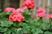 foto of geranium  - Red geraniums and blurred background - JPG