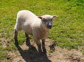 stock photo of spring lambs  - A Spring lamb in a green field - JPG