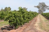 foto of row trees  - rows of young orange trees on a orchard - JPG