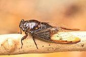 picture of cricket insect  - Cicadas on the trees - JPG