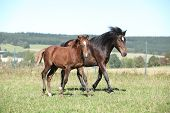 stock photo of mare foal  - Mare of czech sport pony with its foal running
