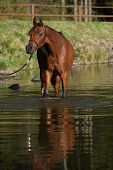 stock photo of arabian horse  - Amazing brown arabian horse standing in the water
