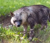 stock photo of hyenas  - A hyena in the grass  - JPG