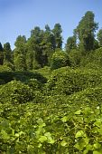 image of kudzu  - The Highly invasive Kudzu plant choking out a forest - JPG