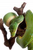 image of pythons  - Morelia viridis - JPG