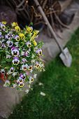 image of viola  - beautiful violas and shovel in summer garden - JPG